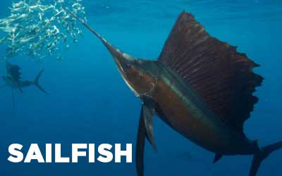 Fishing-Vallarta-Fishing Calendar-Species